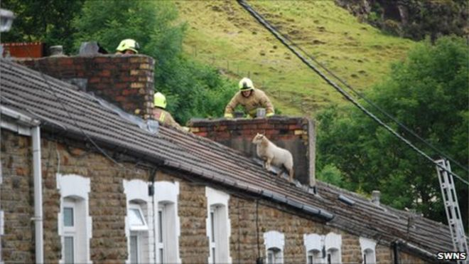_53427995_swns_sheep_roof_10body