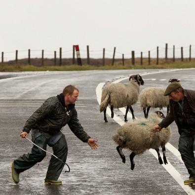 escaped-sheep