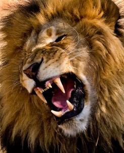 lion-yawn